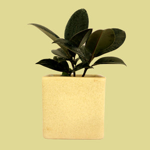 Rubber Plant in Square Planter