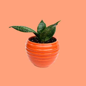 Sansevieria Dwarf Plant in Glossy Ring Planter