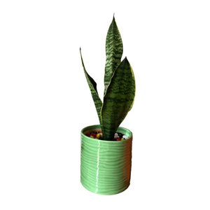 Sansevieria Plant in Green Cylindrical Planter