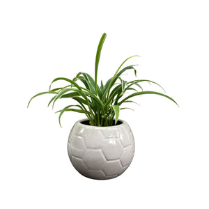 Spider Plant in Snowy Football Planter