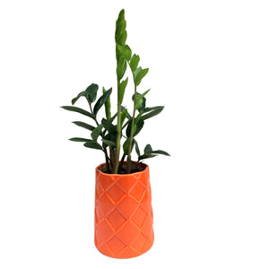Zamia Plant in Red Rhombus Planter