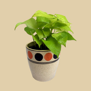 Golden Pothos in Classic Dot Planter