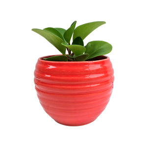 Peperomia Plant in Red Ring Planter