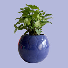 Syngonium in Glossy Blue Football Planter