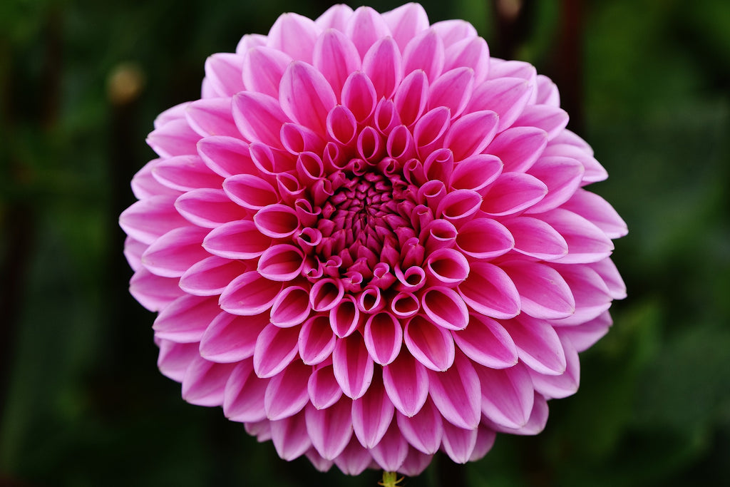 DALIA (Dahlia) Queen of Flowers