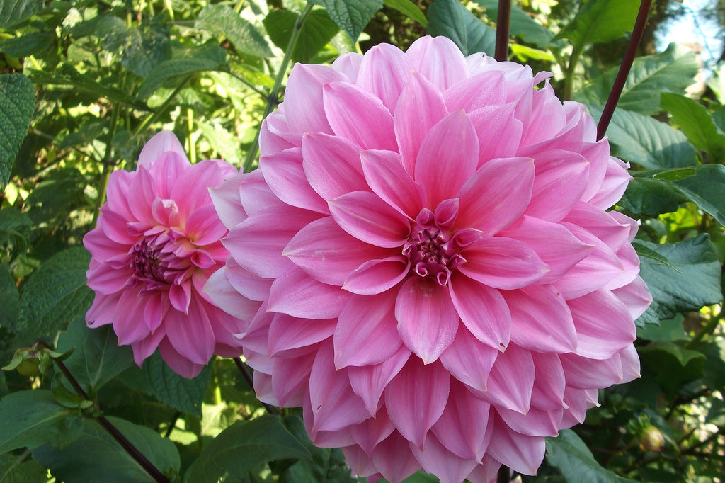 Dalia, Mesoamerican Beauty