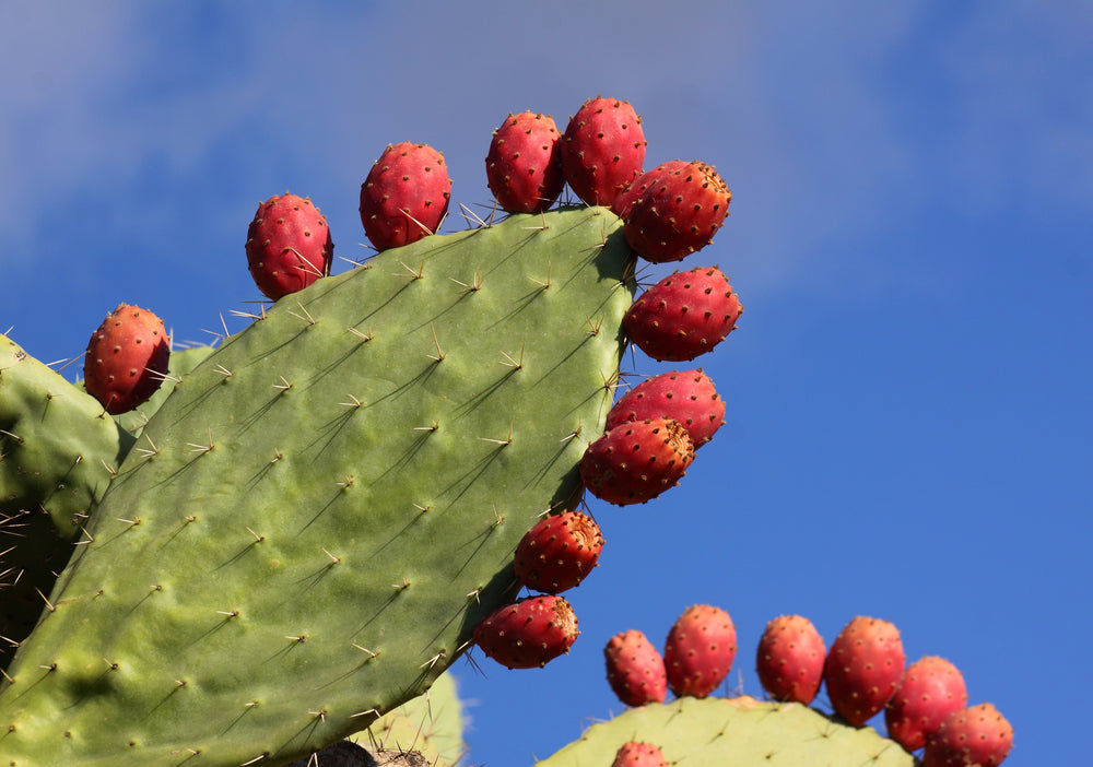What is Opuntia ficus-indica