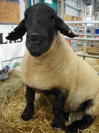 What's your sheep breed?