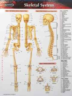 Perma-Chart: Skeletal System
