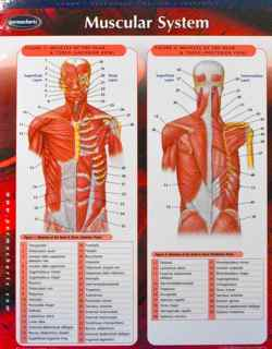 Perma-Chart: Muscular System