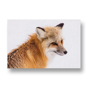 Red Fox Canvas Print in Colour