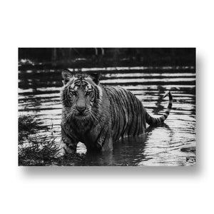 Tiger in Water Canvas Print in Black and White