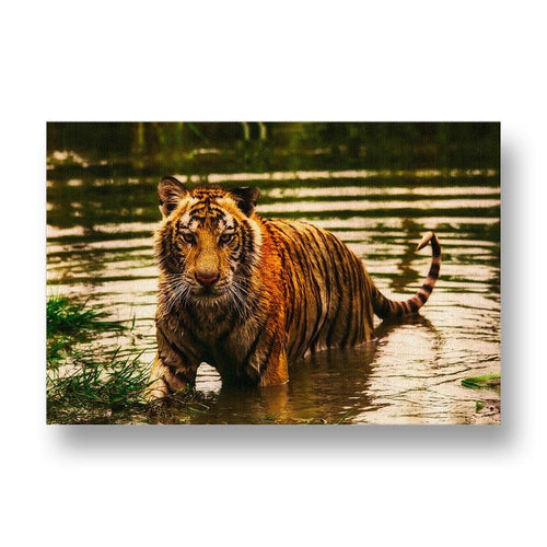 Tiger in Water Canvas Print in Colour