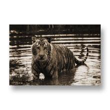 Tiger in Water Canvas Print in Sepia