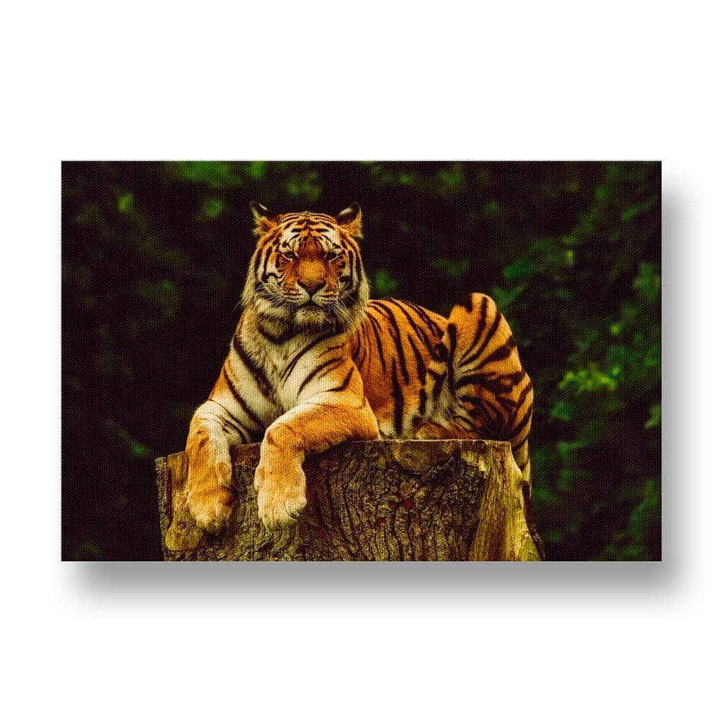 Tiger in Tree Canvas Print in Colour