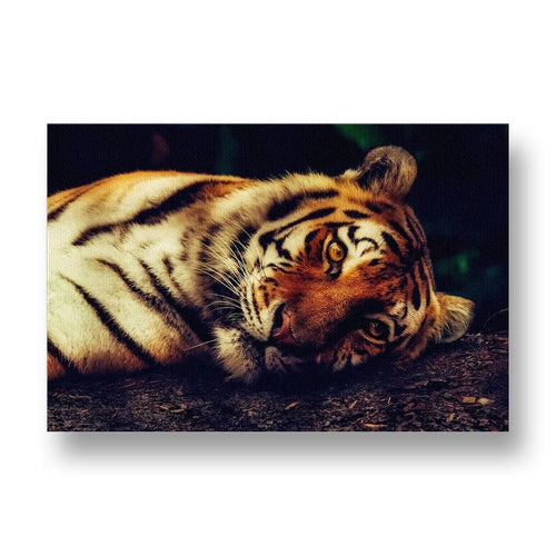 Tiger Resting Canvas Print in Colour