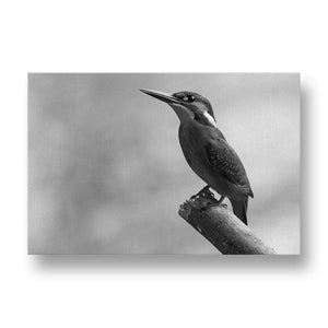 Alcedo Atthis Canvas Print in Black and White