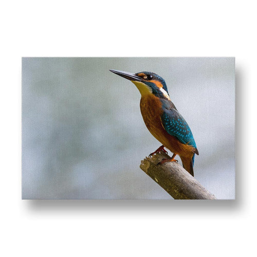 Alcedo Atthis Canvas Print in Colour