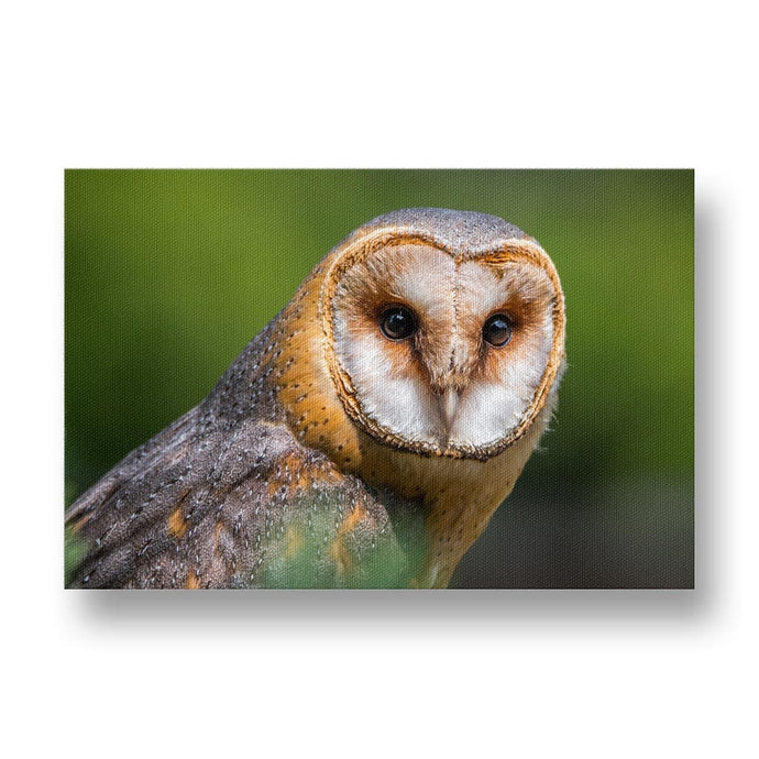 Barn Owl Canvas Print in Colour