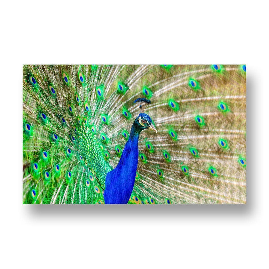 Peacock Canvas Print in Colour