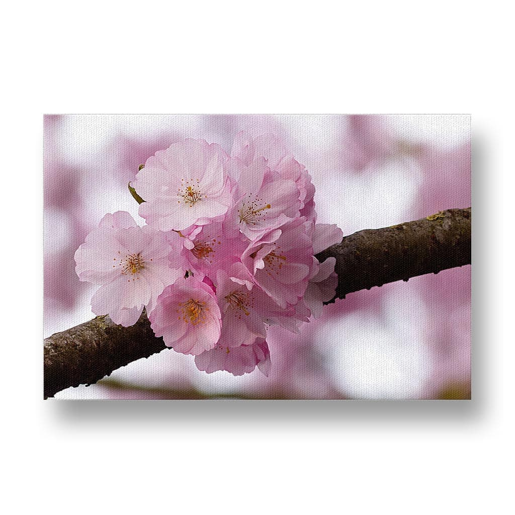 Cherry Blossom Canvas Print in Colour