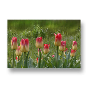 Tulips Canvas Print in Colour