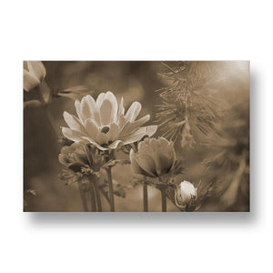 Blue Anemone Canvas Print in Sepia