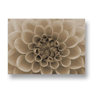 Orange Dahlia Canvas Print in Sepia