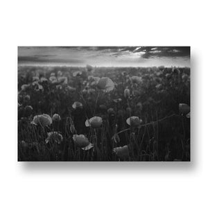 Red Poppies at Sunset Canvas Print in Black and White