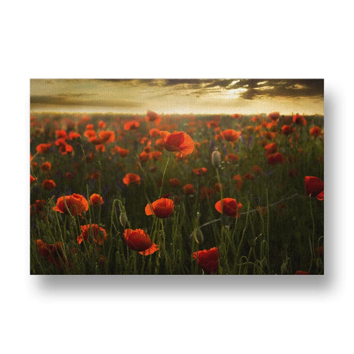Red Poppies at Sunset Canvas Print in Colour