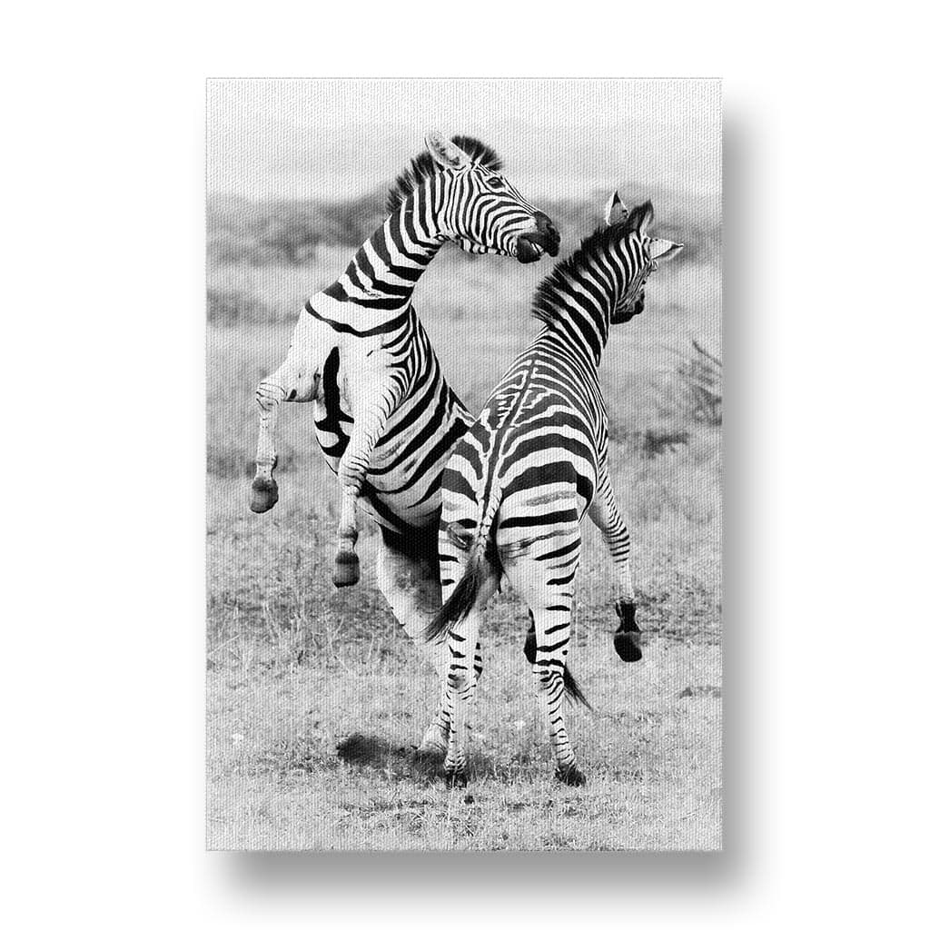 Zebra Stallions Fighting Canvas Print