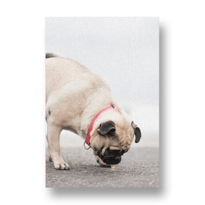 Pug Dog Investigates Ground Canvas Print