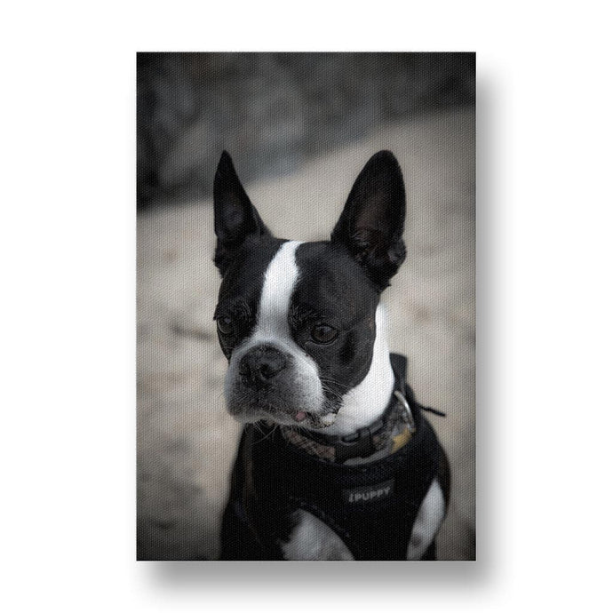 Terrier Listening Attentively Canvas Print