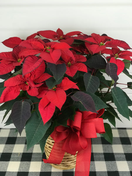 Poinsettia plant available for delivery to monnmouth county, New Jersey from the flower shop Gig Morris Florist located in Belmar, New Jersey