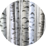 Birch and Willow Tree
