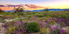 Anza Borrega Wildflowers 2
