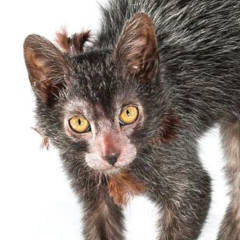 Have You Seen The Werewolf Cat?