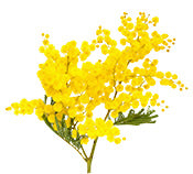 Mimosa Absolute for Perfume making