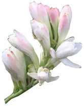 Tuberose absolute for perfume making