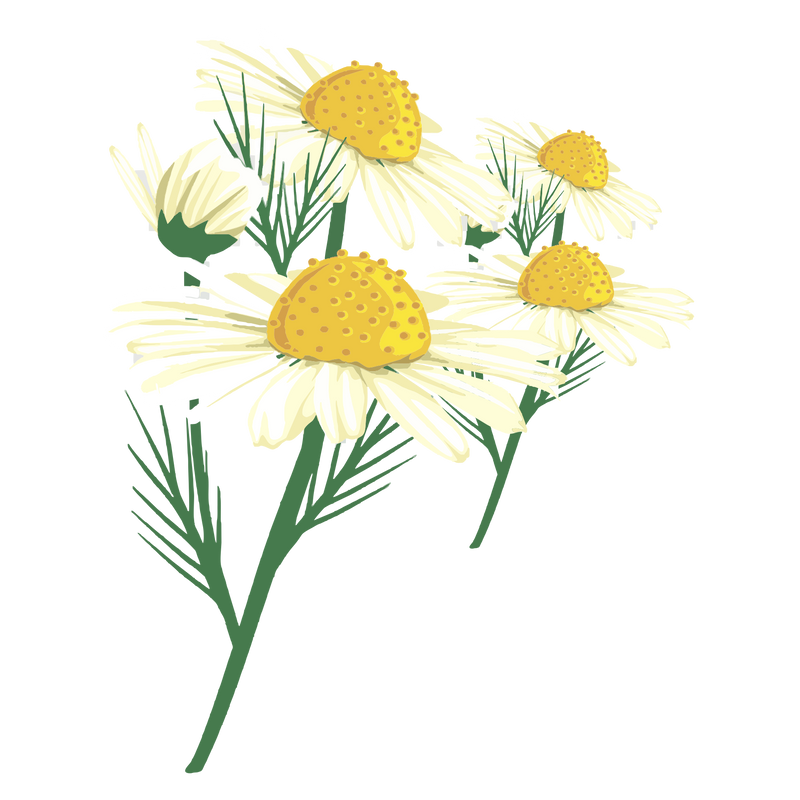 CHAMOMILE ESSENTIAL OIL (GERMAN)