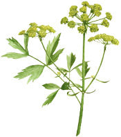 CELERY ESSENTIAL OIL