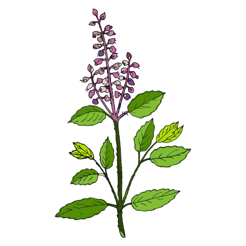 BASIL ESSENTIAL OIL(HOLY)