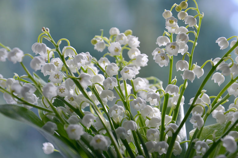 NATURAL COSMETIC FRAGRANCE LILY OF THE VALLEY