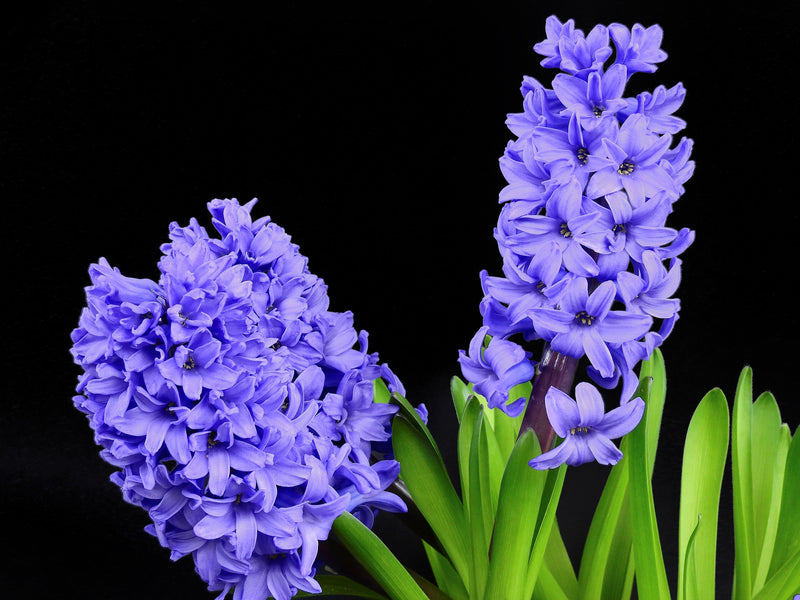 NATURAL COSMETIC FRAGRANCE HYACINTH