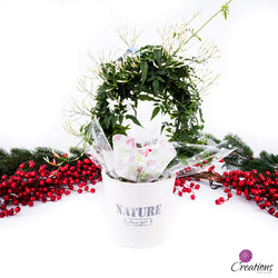 Christmas Living Plant, Jasmine, Living Planters,- Creations Flowers