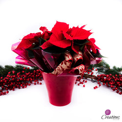 Christmas Poinsettia, Red, Living Planters,- Creations Flowers