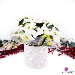 Christmas Poinsettia, White, Living Planters,- Creations Flowers