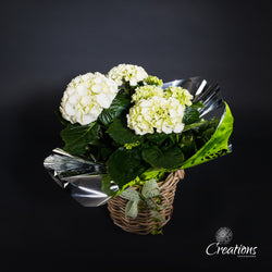 Hydrangea in Wicker Basket, Baskets,- Creations Flowers