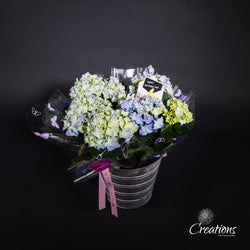 Hydrangea in Ornamental Bucket, Living Planters,- Creations Flowers