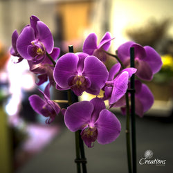 Pink Orchid, Living Planters,- Creations Flowers